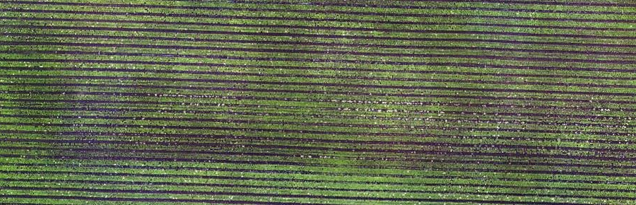 In this mosaic image a lettuce crop is clearly visible from a flying height of 80m.
